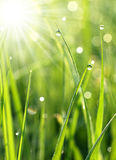 Fresh grass with dew drops close up. Drops of water on the grass with the sun Stock Photo