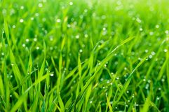 Fresh grass with dew drops close up as natural background Stock Images