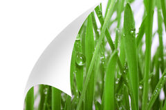 Fresh grass with dew drops close up,bent corner of the page Royalty Free Stock Photo