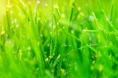 Fresh grass with dew drops close up. Stock Image