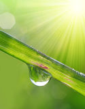 Fresh grass with dew drops closeup. Royalty Free Stock Photo