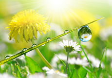 Fresh grass with dew drops with the daisies and dandelions Royalty Free Stock Image