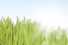 Fresh wet grass in sun rays. Stock Photos