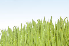 Fresh grass with dew drops. Stock Photo
