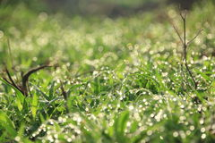 Fresh Grass With Dew Drops. Fresh Grass With Dew Drops in morning Stock Photos