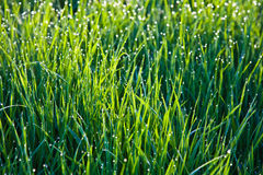 Fresh grass with dew drops Stock Photo