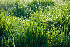 Fresh grass with dew drops Royalty Free Stock Photos