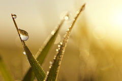 Fresh grass with dew drops Royalty Free Stock Photo