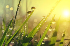 Fresh grass with dew drops at sunrise Stock Images