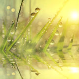 Fresh grass with dew drops at sunrise. Royalty Free Stock Photography