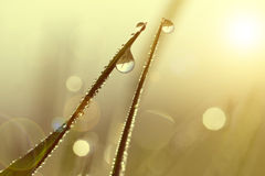 Fresh grass with dew drops at sunrise. Royalty Free Stock Images