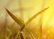 Fresh grass with dew drops at sunrise. Stock Photos