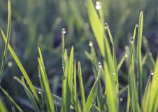 Fresh grass with dew in sunrise Royalty Free Stock Photos
