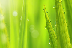 Fresh grass with dews Stock Photo