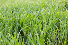Fresh Grass with drops of dew -  green ecology background Stock Photography