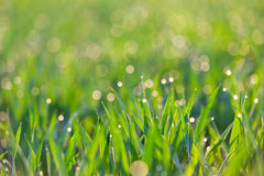 Fresh Grass with drops of dew in light -  green ecology backgrou Royalty Free Stock Photography