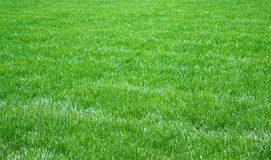 Fresh grass. Field of fresh green grass in park Royalty Free Stock Photo