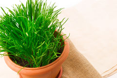 Fresh grass in the flower pot with sacking. Macro view of fresh grass in the flower pot with sacking Stock Image