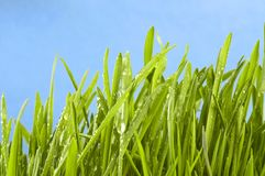 Fresh grass on green Royalty Free Stock Photo
