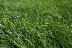 Fresh grass. Fresh green grass of a meadow. Selective focus, focus on foreground Royalty Free Stock Photo