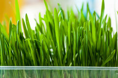 Fresh grass indoors Royalty Free Stock Photography
