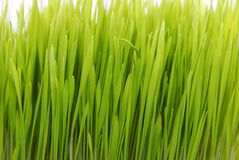 Fresh grass isolated on white Royalty Free Stock Photos
