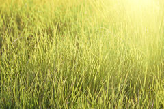 Fresh grass on meadow Royalty Free Stock Photo