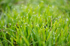 Fresh grass with morning dew drops on sunrise Stock Photo