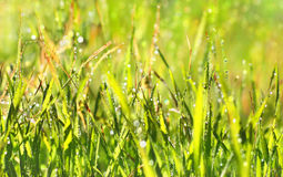 Fresh grass in the morning dew Stock Image