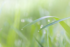 Fresh grass in the morning dew soft light background Stock Image