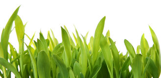 Fresh Grass Shoots Stock Photography
