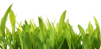 Fresh Grass Shoots Stock Photography