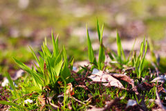 Fresh Grass. Spring nature background Royalty Free Stock Photo