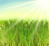 Fresh grass in sun rays stock images