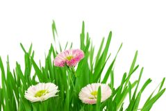 Fresh grass with tender daisy Stock Photos