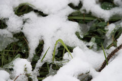 Fresh grass under the snow Royalty Free Stock Photography