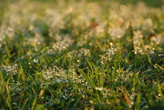 Fresh grass with water drops Stock Photography