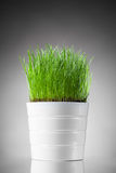Fresh grass in white pot Royalty Free Stock Photography