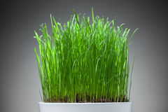 Fresh grass in white pot Royalty Free Stock Image