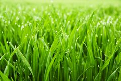 Free Fresh Grass With Dew Drops Royalty Free Stock Images - 18406989