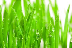 Free Fresh Grass With Dew Drops Stock Photo - 2128200