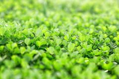 Fresh greeen clover Royalty Free Stock Images