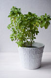 Fresh Greek basil in pot. Fresh Greek basil in white pot against white backgound Stock Image
