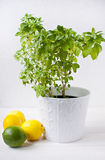 Fresh Greek basil in pot with lemons. Fresh Greek basil in white pot with lemons against white background Stock Photography