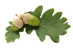 Fresh green acorns with  leaves Royalty Free Stock Photos