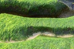 Fresh and green algae on a beach Stock Image
