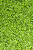 Fresh green algae in the water Royalty Free Stock Photo