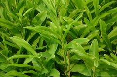 Fresh green alpinia galanga plants Stock Images