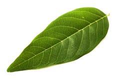 Fresh green Annona squamosa leaves. On white background Royalty Free Stock Image