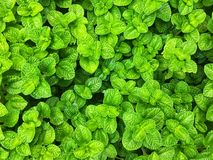 Fresh green apple mint leaves background royalty free stock photo